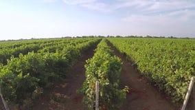 Зеленые строки молодого виноградника Вид с воздуха сток-видео