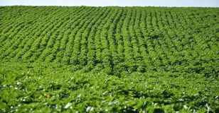 Зеленые строки солнцецвета в поле Стоковые Изображения