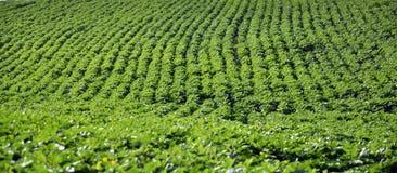 Зеленые строки солнцецвета в поле Стоковое Фото