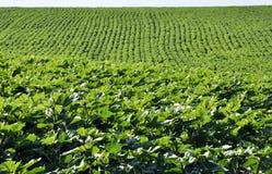 Зеленые строки солнцецвета в поле Стоковая Фотография