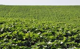 Зеленые строки солнцецвета в поле Стоковое Изображение RF