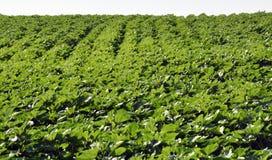 Зеленые строки солнцецвета в поле Стоковая Фотография RF