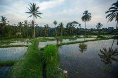 Зеленые террасы риса в острове Бали, Индонезии Сельское хозяйство Стоковые Изображения RF