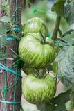 Зеленые томаты растя на ветви Стоковые Изображения