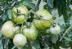 Зеленые томаты растя на ветви Стоковые Фото