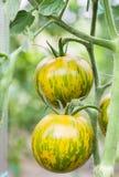 Зеленые томаты растя на ветви Стоковые Изображения RF