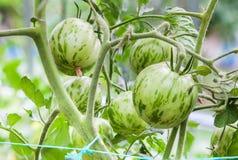 Зеленые томаты растя на ветви Стоковые Фотографии RF