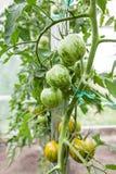 Зеленые томаты растя на ветви Стоковое фото RF