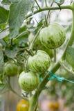 Зеленые томаты растя на ветви Стоковая Фотография