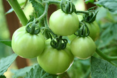 зеленые томаты Стоковая Фотография