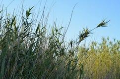 Зеленые зеленые травянистые тростники Стоковое Изображение