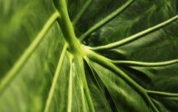 Зеленые тропическая предпосылка лист, экологический, трава и конспект Стоковая Фотография