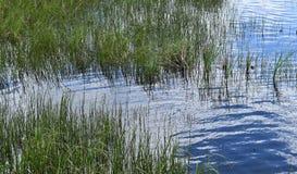 Зеленые тростники вдоль речного берега стоковая фотография rf
