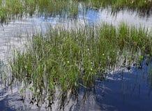 Зеленые тростники вдоль речного берега стоковое фото rf