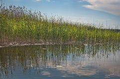 Зеленые тростники и небо в спокойном озере стоковая фотография rf