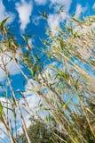 Зеленые тростники под голубым небом с облаками стоковые фотографии rf