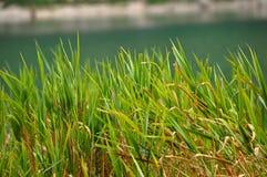 Зеленые тростники тряся спокойно озером стоковые фотографии rf