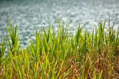 Зеленые тростники тряся спокойно озером стоковые фото