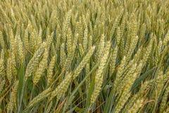 Зеленые уши в поле, конец-вверх пшеницы Стоковая Фотография RF