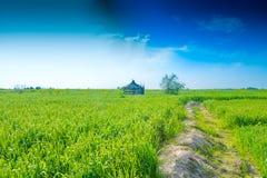 Зеленые уши пшеницы в ферме стоковая фотография rf
