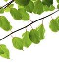 зеленые хворостины Стоковое Изображение RF