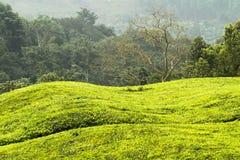 Зеленые холмы в Уганде стоковое изображение rf