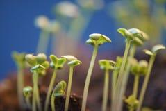 Зеленые цвета мустарда лист растут на огороде на голубой предпосылке Стоковые Изображения RF