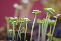 Зеленые цвета мустарда лист растут на огороде на красной предпосылке Стоковые Изображения