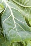зеленые цвета collard стоковая фотография