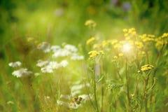 Зеленые цветки желтого цвета ширины луга Лучи солнца сияют луг стоковая фотография