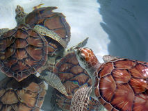 зеленые черепахи моря группы Стоковые Фото