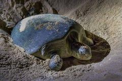 Зеленые черепахи на запасе пляжа черепахи Jinz al Ras, Омане стоковое фото rf
