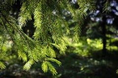 Зеленые шиповатые ветви ели стоковое фото rf