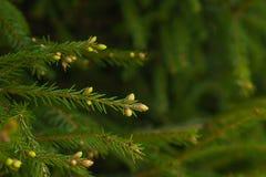 Зеленые шиповатые ветви мех-дерева или сосны поднимающее вверх близкой сосенки природы dof конусов новой отмелое Стоковая Фотография RF