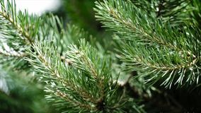 Зеленые шиповатые ветви мех-дерева или сосны Славные ветви ели конец вверх Яркий вечнозеленый свежий зеленый цвет сосны Стоковая Фотография RF