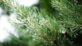Зеленые шиповатые ветви мех-дерева или сосны Славные ветви ели конец вверх Яркий вечнозеленый свежий зеленый цвет сосны Стоковые Изображения RF