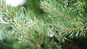 Зеленые шиповатые ветви мех-дерева или сосны Славные ветви ели конец вверх Яркий вечнозеленый свежий зеленый цвет сосны Стоковое Фото
