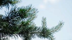 Зеленые шиповатые ветви мех-дерева или сосны Славные ветви ели конец вверх Яркий вечнозеленый свежий зеленый цвет сосны Стоковое Изображение RF