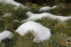 Зеленые шиповатые ветви мех-дерева или сосны Стоковая Фотография RF