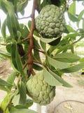 Зеленые яблоки заварного крема стоковые изображения rf