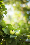 Зеленые яблоки на ветви Стоковое Изображение RF