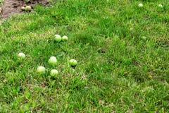 Зеленые яблоки на траве под яблоней Яблоко осени упаденное предпосылкой свежее в траве Стоковое Изображение RF