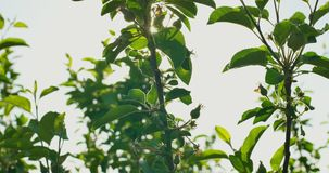 Зеленые ягоды на кусте сток-видео