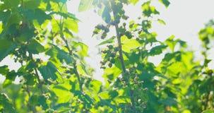 Зеленые ягоды на кусте акции видеоматериалы