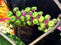 зеленые ягоды на одичалой лозе растя на загородке Стоковое Изображение
