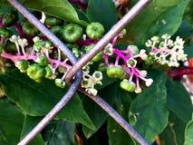 зеленые ягоды на одичалой лозе растя на загородке Стоковые Фотографии RF