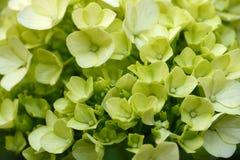 зеленые hydrangeas Стоковые Фотографии RF