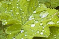 зеленые raindrops листьев Стоковая Фотография RF