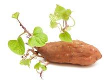 зеленые sprigs картошки сладостные стоковое фото rf