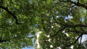 Зеленые treestops в ветре видеоматериал